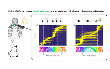 Tuning of olfactory cortex ventral tenia tecta neurons to distinct task elements of goal-directed behavior